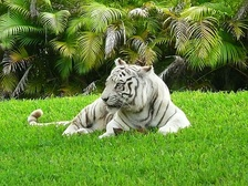 Carlita, a white Bengal tiger, was an iconic showcase of the zoo for nearly two decades.