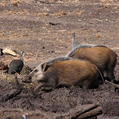 Two bushpigs together with helmeted guineafowl at Mapungubwe National Park in Limpopo Province, South Africa