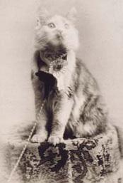 Кошка по кличке Cosey— победительница выставки кошек в Мэдисон-сквер-гарденс в Нью-Йорке в 1895 году