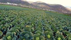 A cabbage field