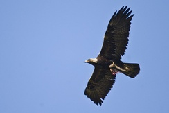 Golden eagle flying in dihedral with food