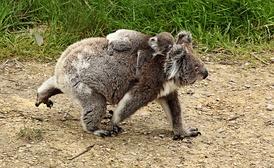 Коалы ходят на всех четырёх ногах при ходьбе по земле, а детёныши цепляются за спину