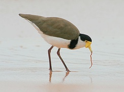 A masked lapwing feeding on a sand worm