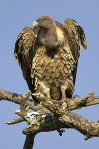 Rüppell's vulture