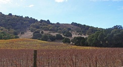Vineyard on northwest flank of Sonoma Mountain.