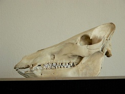 The skull of a wild boar