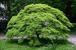 This cultivar of Japanese maple has a dome-like habit.