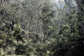 Eucalypt forests in Victoria. Australia's tree flora is dominated by a single genus, Eucalyptus, and related Myrtaceae.[1]