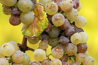 Серая гниль винограда сорта Рислинг