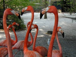American flamingos in South Florida