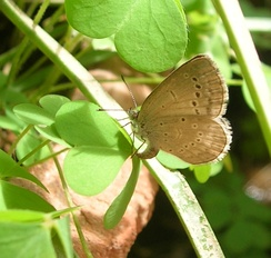 Pale grass blue (Pseudozizeeria maha) of the dry-season brood laying eggs on Oxalis