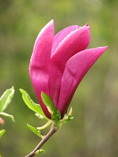 A flower of a magnolia tree