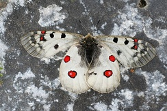 The alpine Apollo butterfly has adapted to alpine conditions.