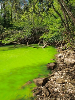 The eutrophication of the Potomac River is evident from the bright green water, caused by a dense bloom of cyanobacteria.