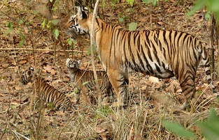 Tigress with cubs in Kanha Tiger Reserve