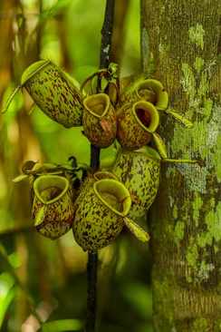 One form of the kettle traps of a pitcher plant