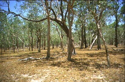 Typical tropical savanna in Northern Australia demonstrating the high tree density and regular spacing characteristic of many savannas