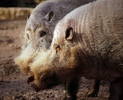 Bearded pigs (Sus barbatus)