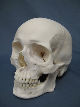 A model of a modern human hominid skull (or hominin skull)