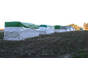 Harvested cotton in modules ready for pickup, Orangeburg County, SC