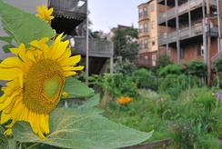 A sunflower blooming in the Eagle Hill Memorial Community Garden on Border Street