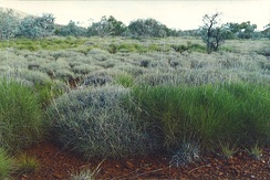 Hummock grassland, the green hummocks are Triodia pungens and the blue-grey hummocks are Triodia basedowii.