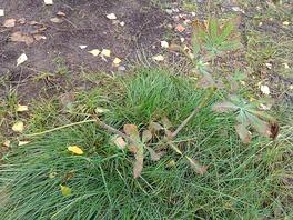Конский каштан, поражённый бурой и чёрной пятнистостью листьев.jpg