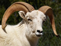 A Dall Sheep with horns.