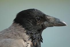 Голова серой вороны крупным планом