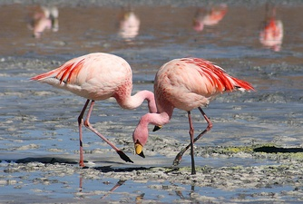Flamingoes in Laguna Colorada, Bolivia. The pink or reddish color of flamingos comes from carotenoid proteins in their diet of animal and plant plankton. A unhealthy or malnourished flamingo, or one kept in captivity and not fed sufficient carotene, is usually pale or white.