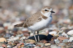 Snowy plovers are common along the Oregon Coast