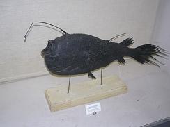 Гренландская цератия (Cryptopsaras holboelli). Самка с крошечным самцом-паразитом. Препарат из Музея зоологии в Санкт-Петербурге.