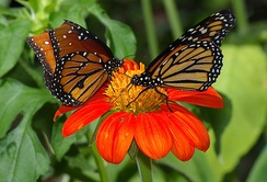 A queen (left) and a monarch (right) in the Butterfly Rainforest.