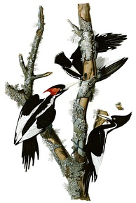 Plate from The Birds of America, featuring the extinct ivory-billed woodpecker