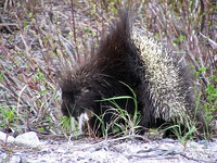 The porcupine Erethizon dorsatum combines sharp spines with warning coloration.