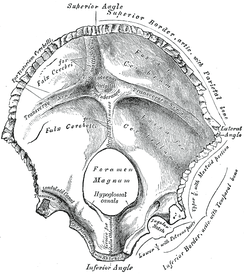 Inner surface of occipital bone