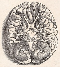 Drawing of the base of the brain, from Andreas Vesalius's 1543 work De humani corporis fabrica