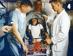 Ham the Astrochimp before being inserted into the Mercury-Redstone 2 capsule in 1961