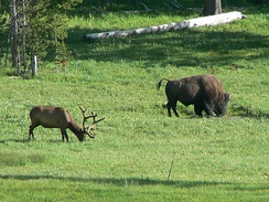A bison and an elk grazing together in the Yellowstone National Park.