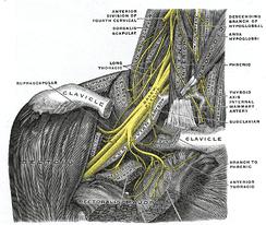 Правое плечевое сплетение, вид спереди