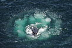 Humpback whale lunging in the center of a bubble net spiral.