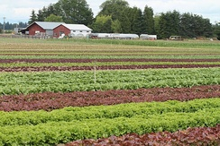 Field of lettuce and other vegetables at Mustard Seed Farms, an organic CSA in Oregon