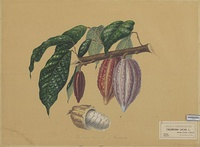 T. cacao, leaves, fruits and seed. A. Bernecker, 1864.