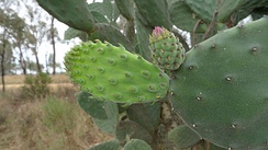 "The so-called ""fleshy leaves"" of cacti such as this Opuntia tomentosa are actually cladodes, branches. The true leaves are the spines growing on the cladodes, which on this young cladode are still fleshy."