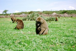 A troop of olive baboons (Papio anubis) foraging in Laikipia, Kenya. Young primates learn from elders in their group about proper foraging.