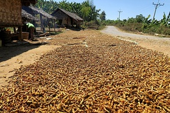 Drying turmeric rhizomes in Myanmar.