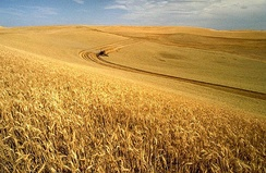 Industrialized wheat harvest - North America today