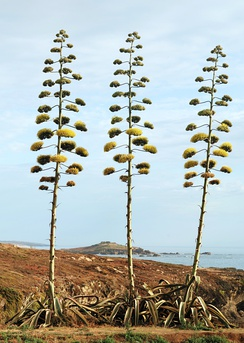 The inflorescence of Agave americana is a giant panicle.