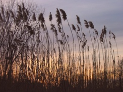 Sunset in the Fens viewed through Phragmites australis, a non-native reed. These are considered an invasive species by the US Army Corps of Engineers, which has applied for funds to remove them.