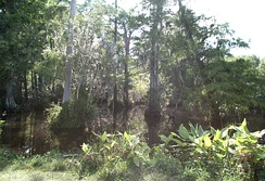 A cypress swamp in Big Cypress National Preserve, south Florida